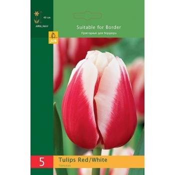 Tulp Triumph Red/White 5tk