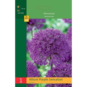 Lauk Allium Purple Sensation