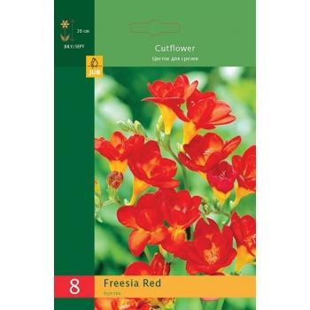Freesia Red 8tk