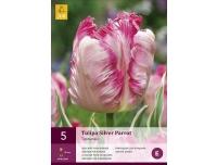 Tulp Silver Parrot