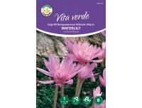 Sügislill Colchicum Waterlily 1tk B